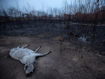 Un animal bovino yace muerto junto a una zona consumida por las llamas