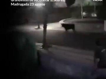 Pacma denuncia el atropello de una vaquilla que se salió del recorrido por parte de la Policía Local