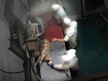 Una cámara oculta graba el maltrato animal a corderos y ovejas en un matadero de Madrid