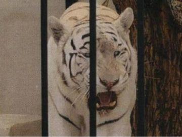 Imagen del tigre albino enjaulado facilitada por el Ayuntamiento de Alicante