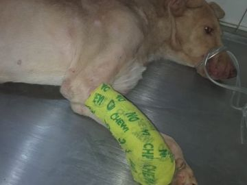 Imagen de un cachorro con la pata cortada