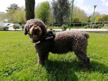 Marley, el perro de la Guardia Civil que ayudó a resolver multitud de delitos