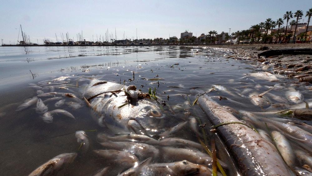 Peces muertos en playas del Mar Menor, en la zona de Villananitos y La Puntica, San Pedro del Pinatar, (Murcia).