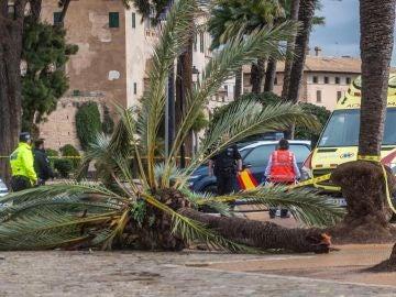 Muere una mujer en Mallorca tras caerle encima una palmera