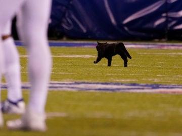 Un gato salta al campo en Nueva Jersey durante el Cowboys-Giants de la NFL