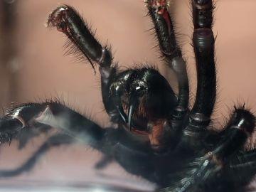 Ejemplar de araña 'tela de embudo'