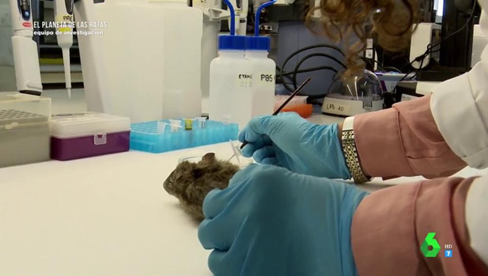 ¿Cómo pueden transmitir las ratas enfermedades a los humanos y qué precauciones se deben tomar?