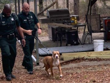 Buddy, el pitbull que protegió al niño de tres años perdido