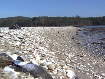 Así ha quedado el marisco de la Costa da Morte, después de que la arena arrastrada por el temporal lo haya sepultado.