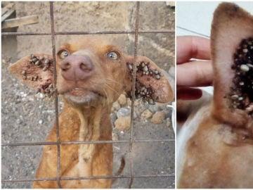 Los perros presentaban infecciones de garrapatas muy severas.