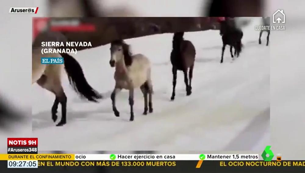 Una manada de caballos salvajes corre en libertad por las pistas de esquí de Sierra Nevada