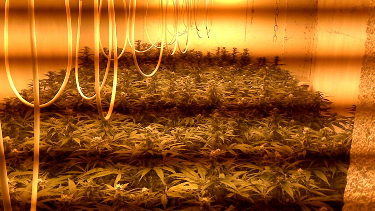 Una plantación de marihuana