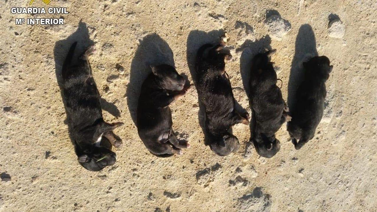 Imagen facilitada por la Guardia Civil de los cachorros