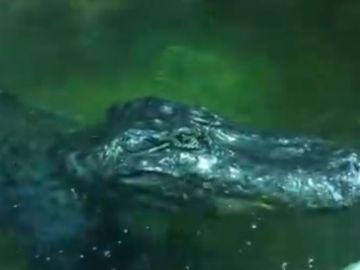 La muerte del cocodrilo Saturno reaviva la leyenda: ¿fue la mascota de Hitler?