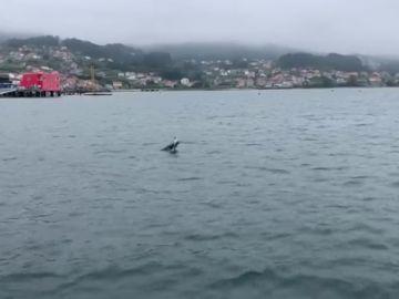 Captan el terrible momento en el que un delfín intenta reanimar a su cría ya muerta en Combarro (Pontevedra)