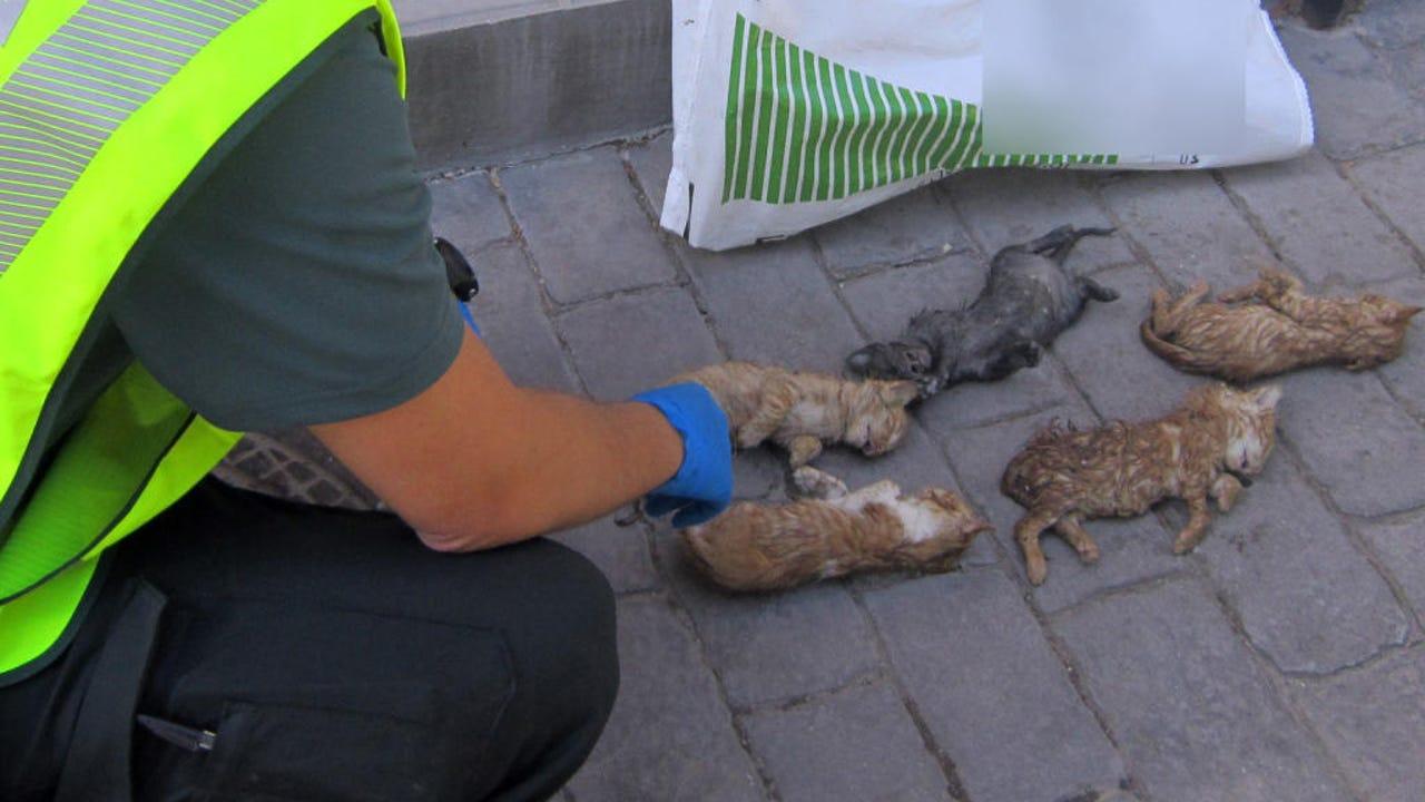 Un guardia civil junto a los cachorros de gato muertos