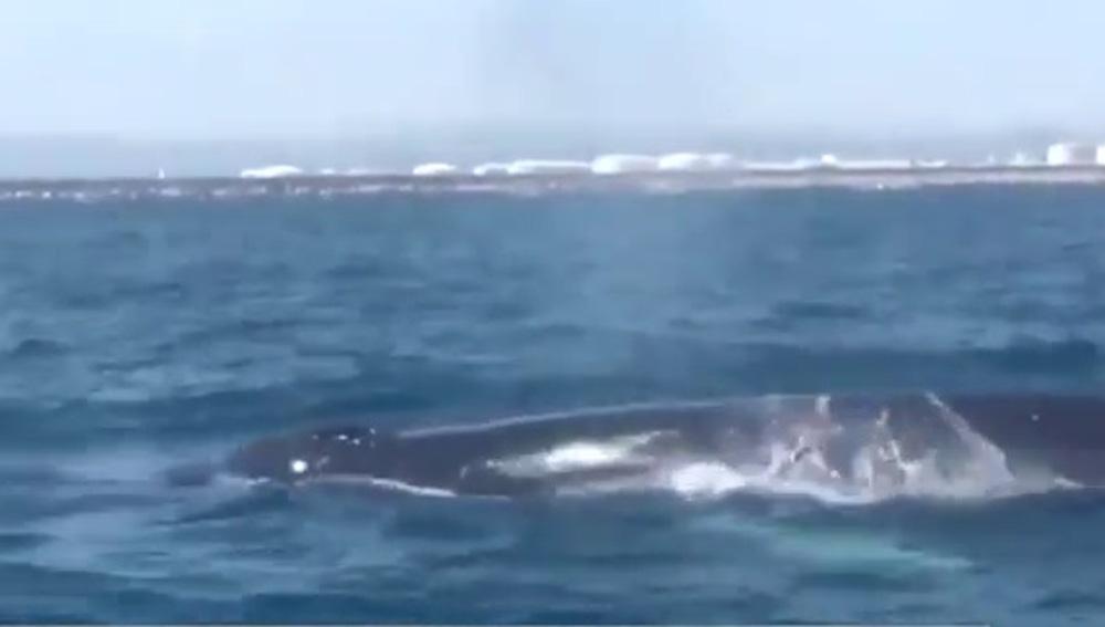 Un familia de cuatro ballenas obliga a cortar el tráfico marítimo de Barcelona