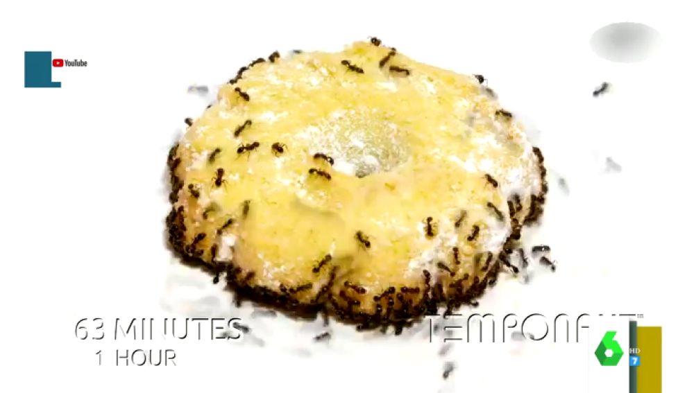 ¿Cuánto tardan las hormigas en comerse una galleta?