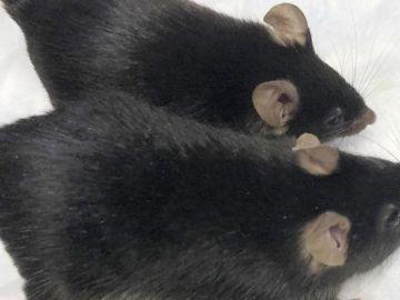 Roedores enviados al espacio vuelven transformados en súper ratones