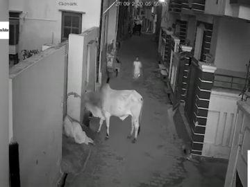 El impactante vídeo de un niño que se pone frente a un toro para evitar que embista a su abuela