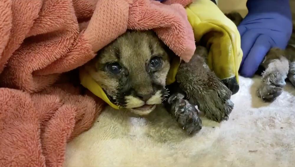 Rescatan a un cachorro de puma huérfano en los incendios de California