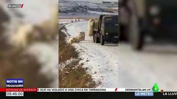 Graban a un grupo de osos polares 'registrando' un camión de la basura en busca de comida