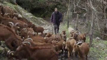 """La pesadilla diaria que viven los pastores por culpa de los lobos: """"Pierdo unas 100 cabras al año, una cada tres días"""""""