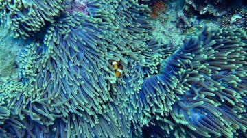 Descubren un coral más alto que el Empire State en la Gran Barrera de Australia
