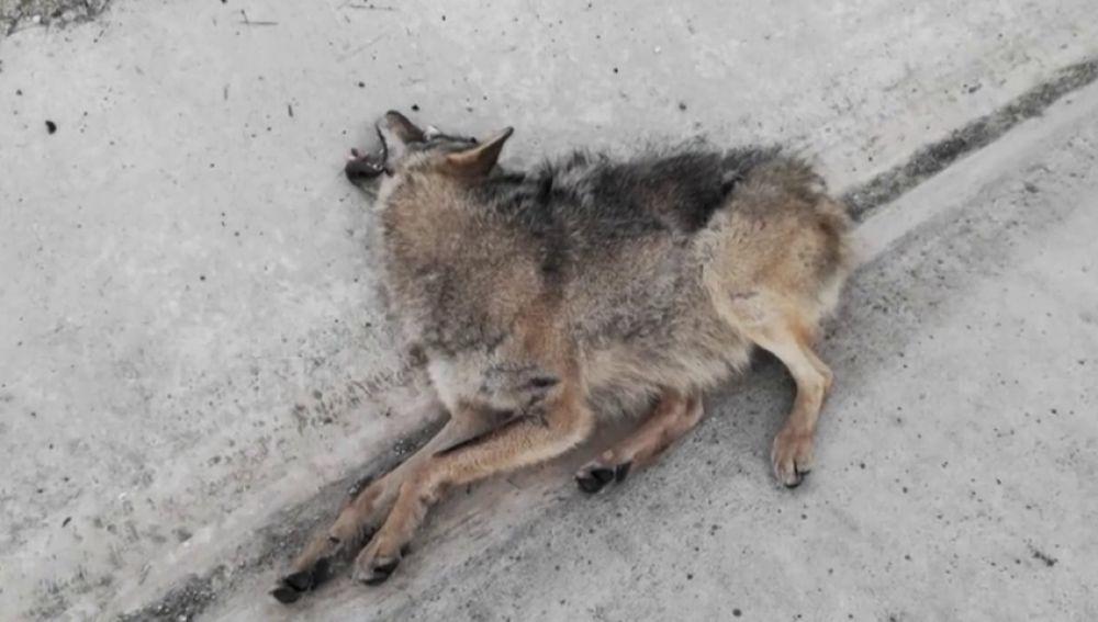 Hasta 26 lobos han muerto atropellados entre Madrid y Segovia: este es el 'triángulo de la muerte' que está acabando con la especie