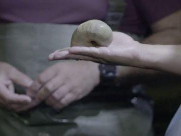 A la 'caza' del caracol manzana en el río Ebro: una especie invasora de la que han retirado 20.000 ejemplares en siete años