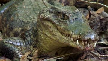 Las aventureras se arman de valor para cazar a un caimán: así han conseguido capturar y matar al animal para poder comer