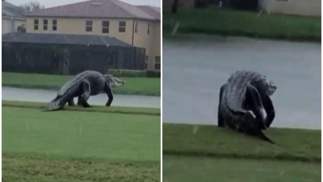 Un caimán gigante se pasea tan tranquilo por un campo de golf en Estados Unidos