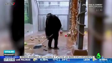 Las sorprendentes imágenes de un chimpancé limpiando su jaula con una escoba