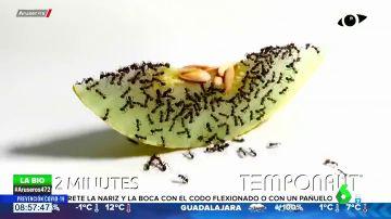 El hipnótico 'time.lapse' que muestra cómo un grupo de hormigas devoran una rodaja de melón en 72 horas