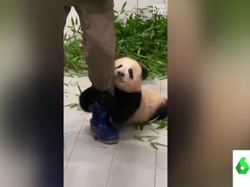 El tierno vídeo en el que un oso panda se niega a despegarse de su cuidador: así le agarra la pierna para no separarse