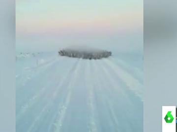 El impactante video de una avalancha de renos dirigiéndose hacia un conductor
