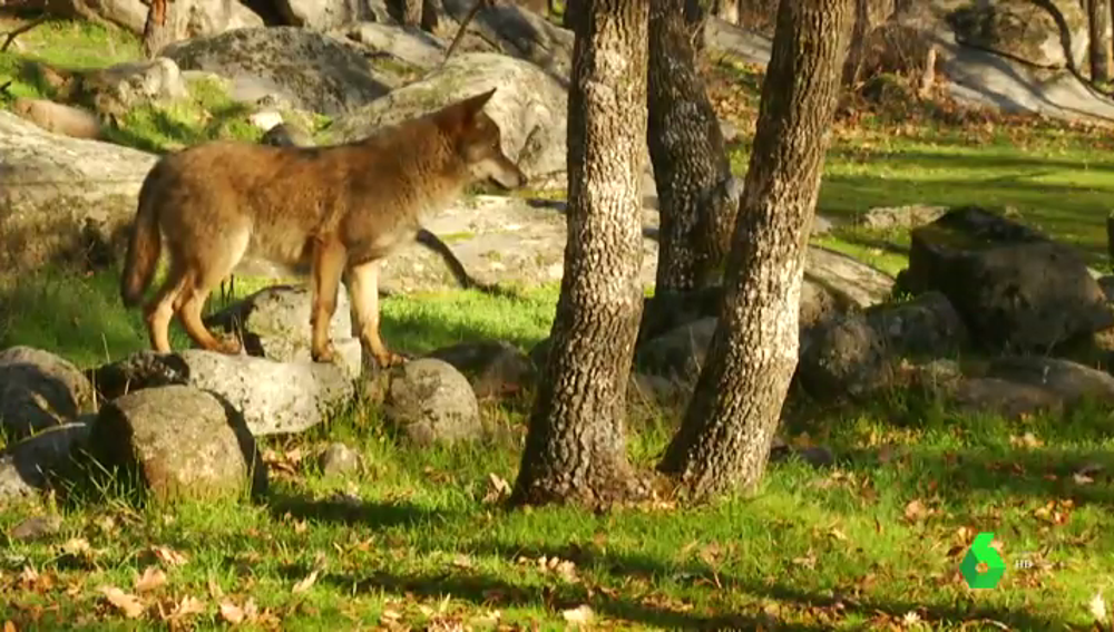 Cómo espantar a un lobo sin hacerle daño