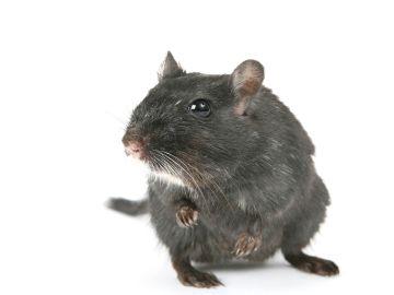 Imagen de una rata negra