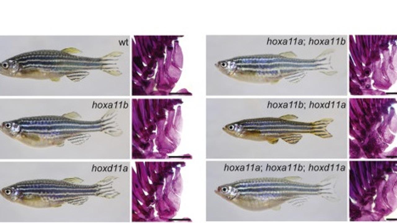 Parte de la investigación llevada a cabo por la Universidad de Harvard sobre los peces cebra