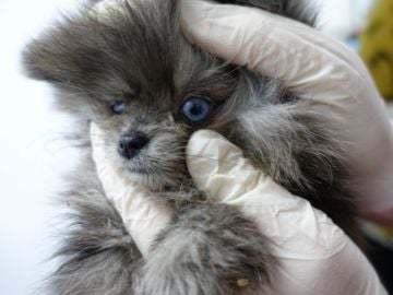 Encuentran cadáveres de cachorros de perro en el congelador y animales enfermos en una tienda de Barcelona