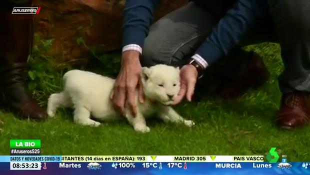 Nace el primer león blanco sin enfermedades en España