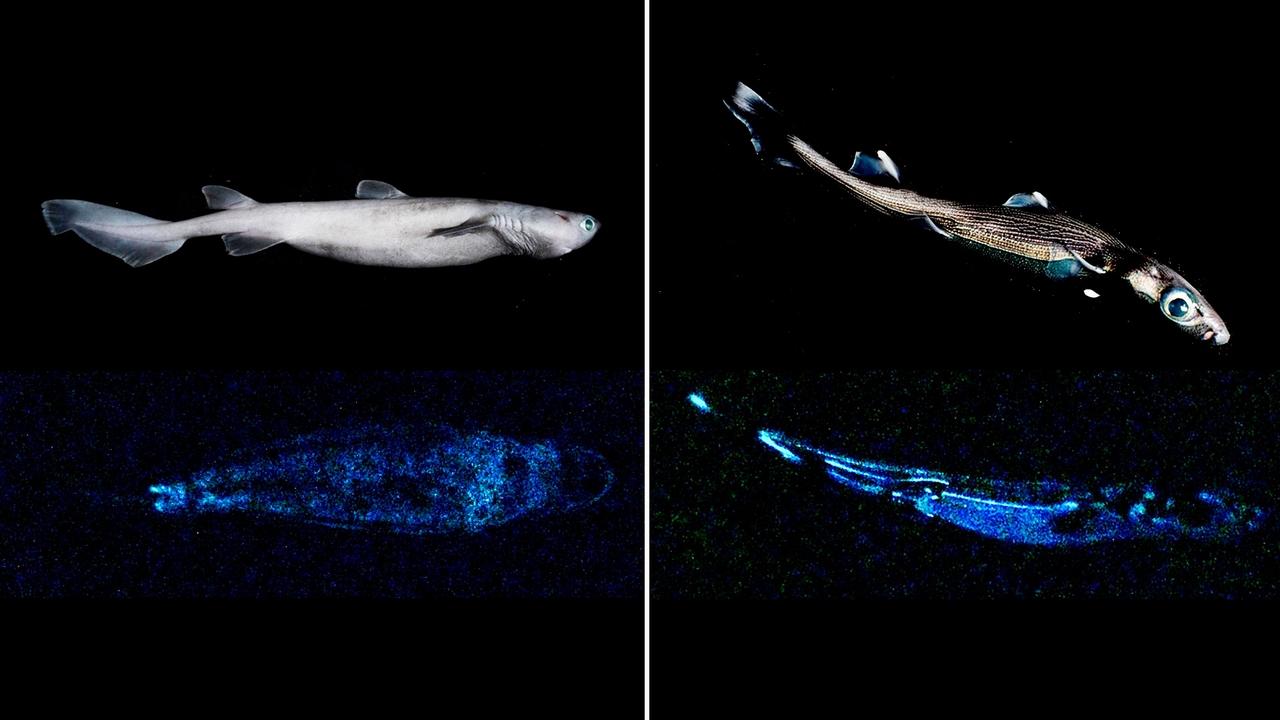 """Imagen del  tiburón luminoso """"más grande del mundo que se conoce hasta la fecha"""""""