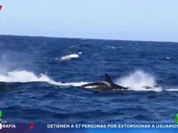 Decenas de orcas devoran a una ballena azul en aguas australianas