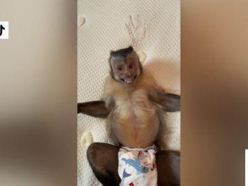George, el mono que arrasa en TikTok abriendo regalos, haciéndose fotos y explotando granos a su dueño