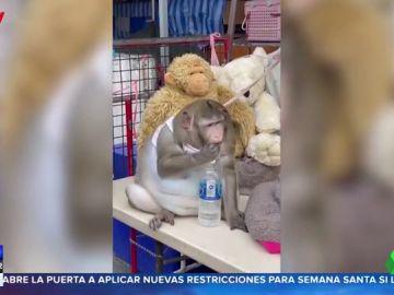 Un mercado de Tailandia encadena a un mono obeso para que la gente lo siga alimentando