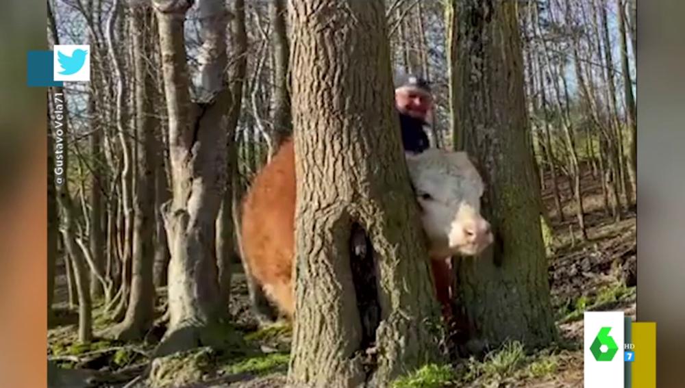 El agónico rescate de una vaca con la cabeza encajada entre dos árboles