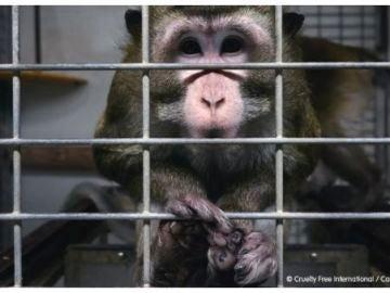 Imagen de unos de los animales del laboratorio cedida por la ONG Cruelty Free International y Carlota Saorsa