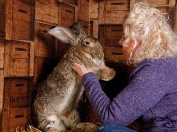 Darius, el conejo más grande del mundo, ha sido robado