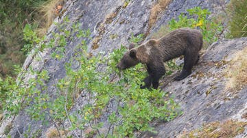 Una cría de oso pardo come los frutos de un árbol.