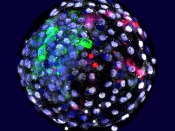 Células de las diferentes especies en una etapa embrionaria temprana